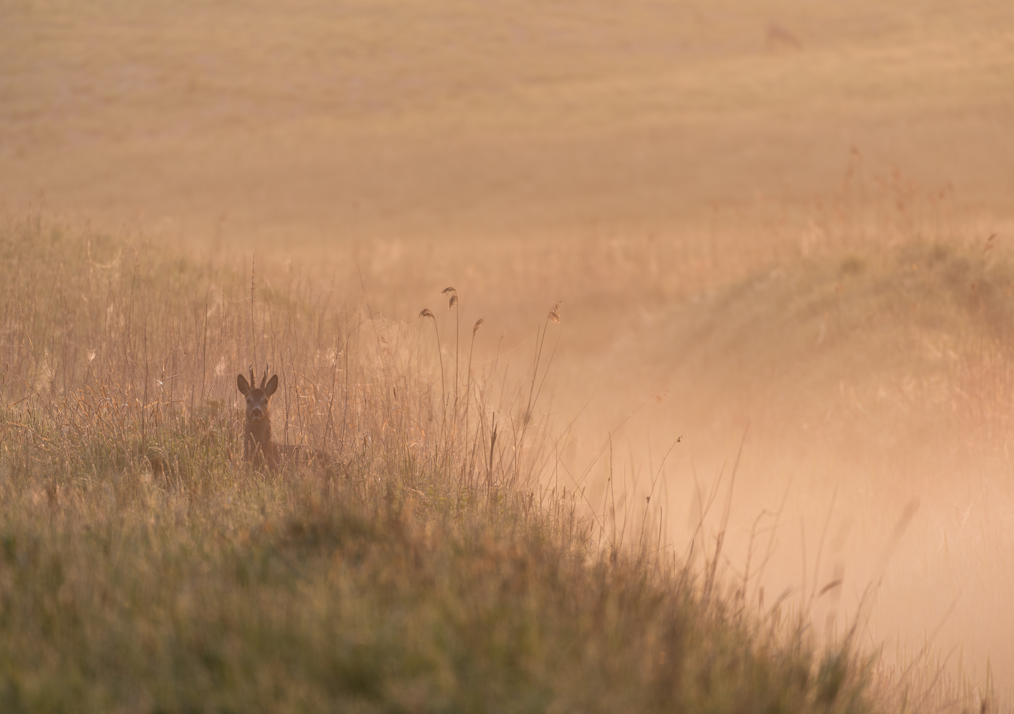 Deer at sunrise in the first light above the meadow