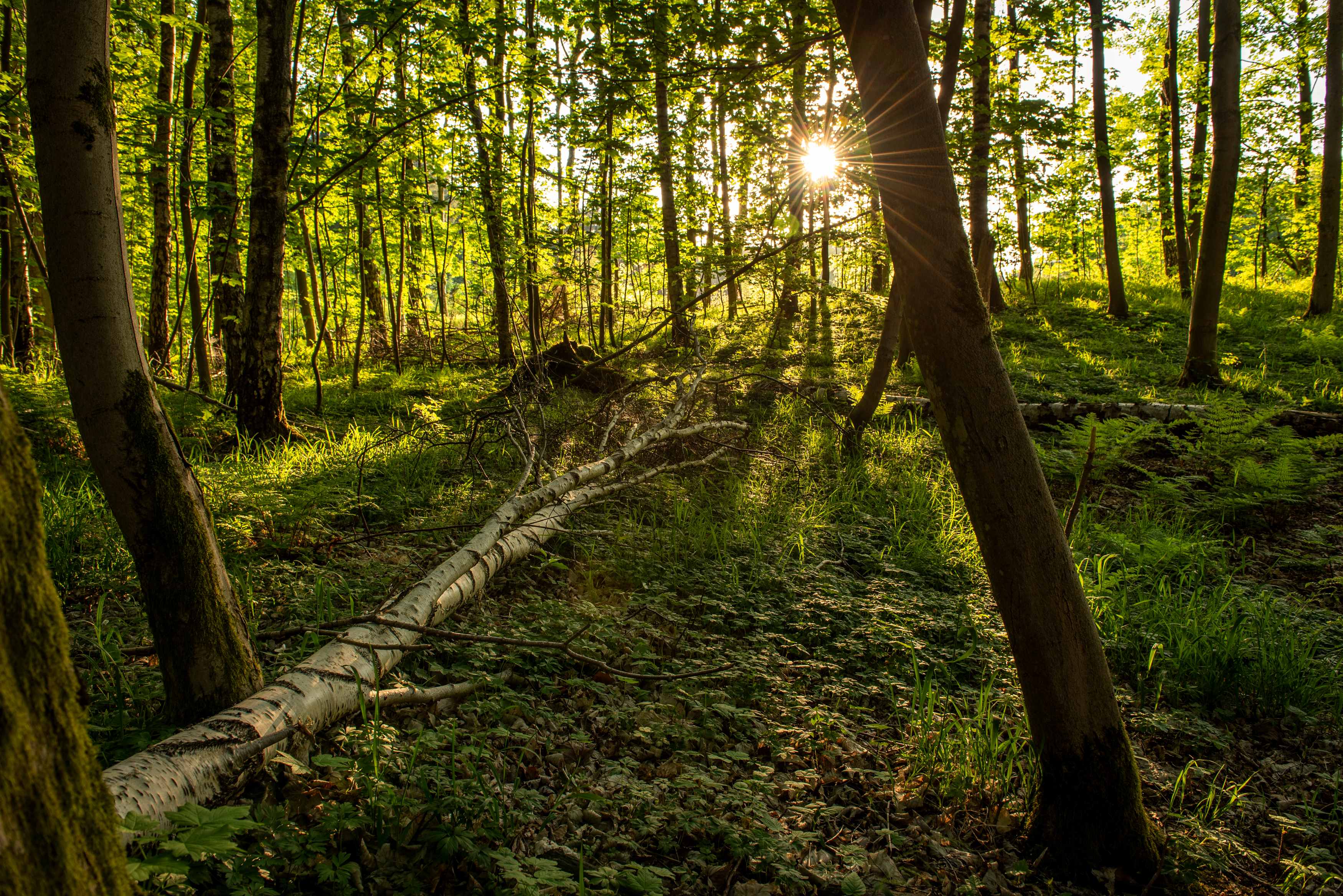 The last rays of the sun through the trees in the woods