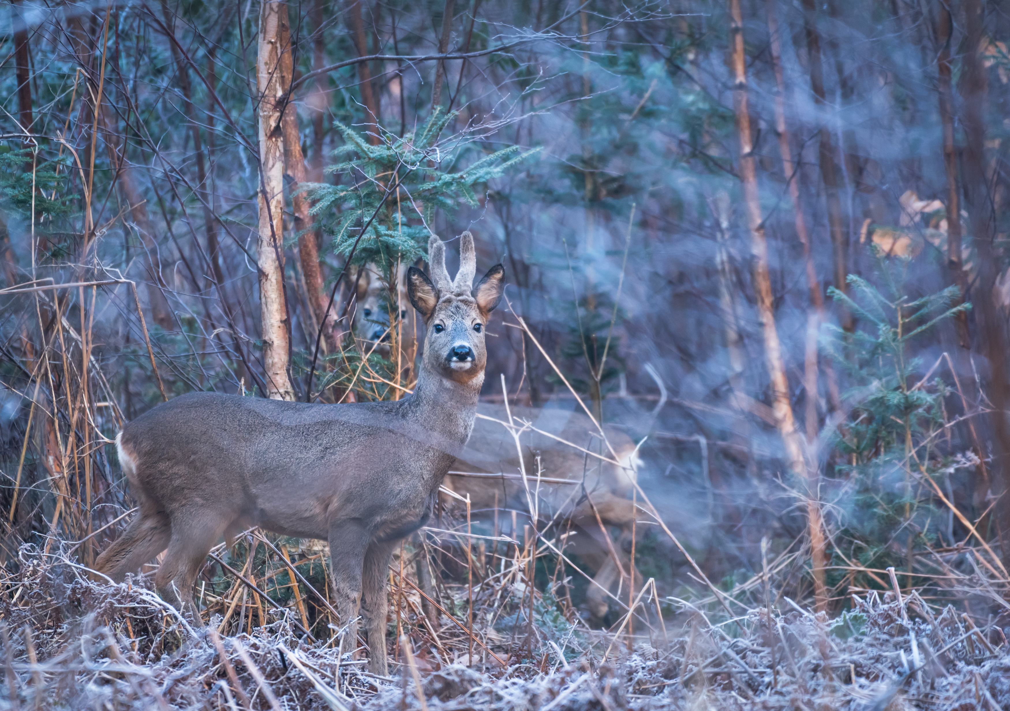 Roe deer in the early morning in the forest